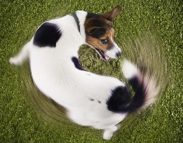 dog chasing his tail website pic